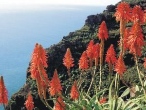 Aloe aborescens clinging to Madeiran cliffs