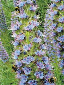 Echium candicans - popular with bees