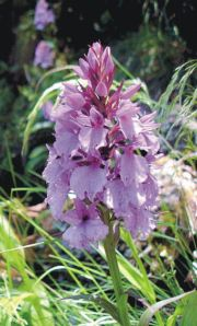 Orchis maderensis
