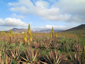 Aloe Vera thrives in Fuerteventura's desert conditions.