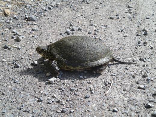 Wild Tortoise, Corfu