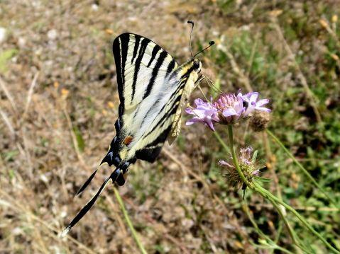 Rare Swallowtail