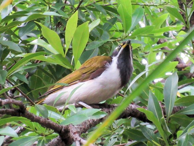 Blue-Faced Honeyeaters feeding along the route
