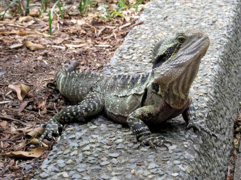 Eastern Water Dragons pop out along the path